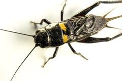 Insetto isolato cricket nero comune su fondo bianco fotografie stock