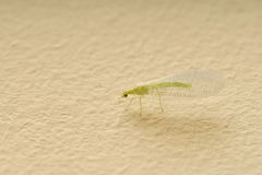 Insetto Lacewing verde fotografie stock