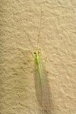 Insetto Lacewing verde Fotografia Stock Libera da Diritti