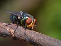 Insetto, macro, mosca verde, naturale, colorfull Immagini Stock Libere da Diritti