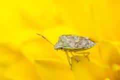 Insetto minuscolo su un fiore giallo Fotografia Stock Libera da Diritti