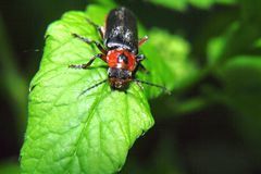 Insetto nero e rosso - pellucida di Cantharis - che si siede sulle piante verde intenso di una foglia Fotografie Stock