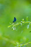 Insetto porpora blu della libellula sulle foglie verdi in Italia per insetti fotografie stock libere da diritti