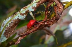 Insetto rosso Fotografia Stock