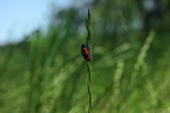 Insetto rosso che scala erba Fotografia Stock Libera da Diritti