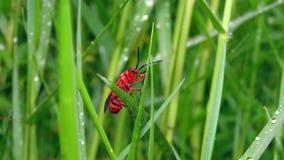 Insetto rosso con erba nella foresta Fotografia Stock