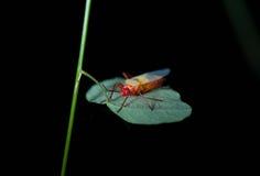 insetto Rosso-giallo-blu, Lygaeidae Immagini Stock