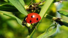 Insetto rosso piacevole sull'erba! Immagini Stock Libere da Diritti