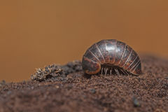 insetto smal su un fondo marrone fotografia stock libera da diritti