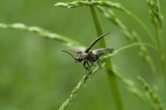 insetto su erba Fotografia Stock