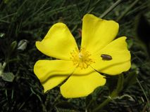 Insetto su un fiore giallo Fotografia Stock Libera da Diritti