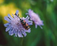 Insetto su un fiore porpora fotografia stock