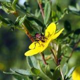 Insetto su un fruticosa di Pentaphylloides del fiore Immagini Stock