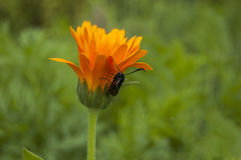 Insetto sul fiore arancio della calendula Fotografia Stock Libera da Diritti