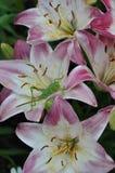 Insetto sul fiore di un giglio Fotografia Stock