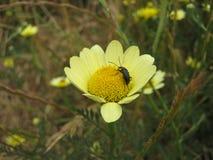 Insetto sul fiore giallo della margherita Immagini Stock Libere da Diritti