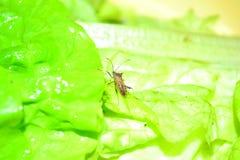 insetto sulla verdura Fotografia Stock Libera da Diritti