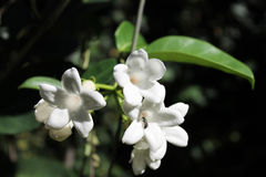 Insetto in un fiore bianco Fotografia Stock