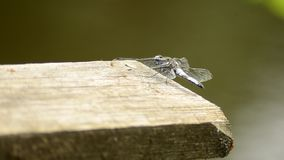 Insetto una libellula Albistylum di Orthetrum Libellula bianca 4 video d archivio