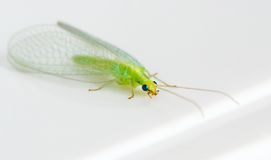 Insetto verde Fotografia Stock