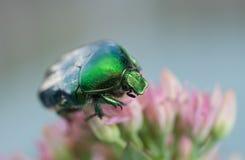 Insetto verde, aurata di Cetonia Fotografia Stock