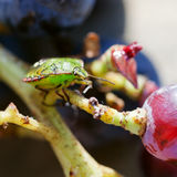 Insetto verde del sud di puzzo sull'uva Fotografia Stock Libera da Diritti
