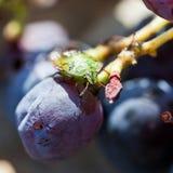 Insetto verde del sud di puzzo sull'uva Immagine Stock Libera da Diritti