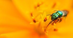 Insetto verde su un fiore del yelow Immagini Stock