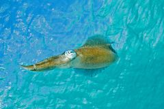 Inshore arrow squid. Squid swimming near surface Royalty Free Stock Photo