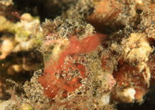 Inshore hairy shrimp with egg Stock Images