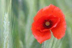 Insidan av en oavkortad blom för lös vallmoblomma fotografering för bildbyråer