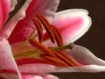 Inside A Lily Royalty Free Stock Photography