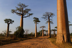 Inside the alley of Baobab, at dawn Stock Photos