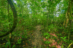 Inside of the amazonian Jungle, surrounding of dense vegetation in the Cuyabeno National Park, South America Ecuador Royalty Free Stock Image