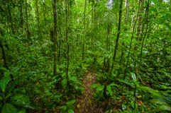 Inside of the amazonian Jungle, surrounding of dense vegetation in the Cuyabeno National Park, South America Ecuador.  Royalty Free Stock Image