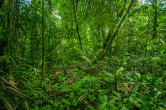 Inside of the amazonian Jungle, surrounding of dense vegetation in the Cuyabeno National Park, South America Ecuador.  Royalty Free Stock Photography