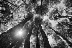 Inside and araucaria forest. At Conguillio national park, Chile Royalty Free Stock Image
