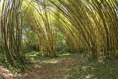 Inside a bamboo forest Royalty Free Stock Image