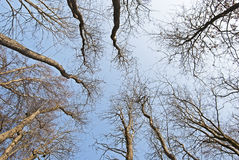 Inside the bare forest. Wide-angle shot of blue sky from inside the bare forest Stock Images