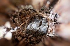 Inside of bird next box and baby birds Stock Photos