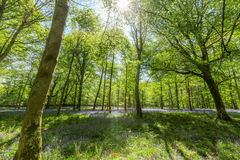 Inside Bluebell Wood Royalty Free Stock Photo