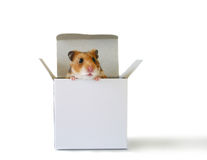 Inside the box (3). Cute little hamster sitting inside a white box Stock Photo