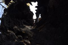Inside a burnt tree trunk. Hollow in the trunk of a willow. fire in the forest.  stock photo