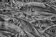 Inside Caranx school of fish underwater in black and white Stock Photos