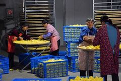 ANHUI PROVINCE, CHINA – CIRCA OCTOBER 2017: Women inside the factory where the yellow flowers of chrysanthemums are drying. Inside the chrysanthemum royalty free stock image