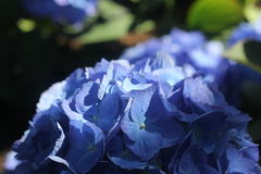 Inside close-up of blue flowers Royalty Free Stock Images