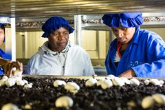 Inside a Commercial Mushroom Farm and packaging facility stock images