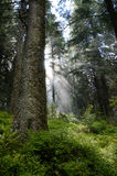 Inside of the coniferous forest in the Carpathian Mountains. Royalty Free Stock Images