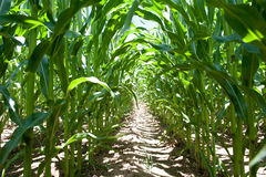 Inside a corn field Royalty Free Stock Images