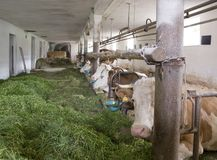 Inside of a cow barn Royalty Free Stock Photography